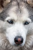 picture of husky sled dog breeds  - Portrait of Siberian Husky  - JPG