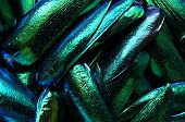 pic of jewel-case  - An abstract beautiful texture with a lot of green metallic upper wings of the jewel beetles - JPG