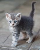 picture of blue tabby  - frightened gray kitten with big blue eays