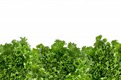 picture of bottom  - Bottom border of crisp fresh frilly leafy green lettuce for a salad ingredient or garnish isolated on white with copyspace - JPG
