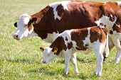 stock photo of calf cow  - cow and calf graze in the meadow - JPG