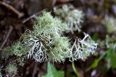 picture of lichenes  - Close up of lichen in the woods - JPG
