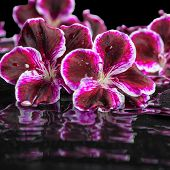 stock photo of geranium  - beautiful spa still life of blooming dark purple geranium flower and beads on ripple reflection dark water closeup - JPG