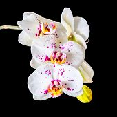 foto of color spot black white  - Blooming twig of white orchid phalaenopsis with lilac spots is isolated on the black closeup