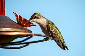 foto of hummingbirds  - Female Ruby - JPG