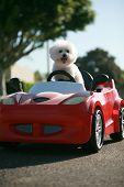 Bichon Frise Dog enjoys a ride in a pedal car. Fifi the Bichon Frise, takes her Red Hot Rod Pedal Ca poster