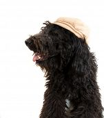 picture of parti poodle  - image of a black poodle on white - JPG