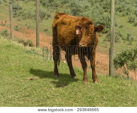 Red Dexter Cow Considered A