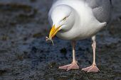 A Herring Gull With A Wishbone In Its Beak Found Whilst Scavenging On Rubbish poster