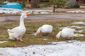 A Flock Of Domestic White Geese On The Spring Lawn. Rural Landscape. White House Geese Walk. Domesti poster