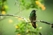 Greenish Puffleg Sitting On Branch, Hummingbird From Tropical Forest,colombia,bird Perching,tiny Bir poster
