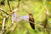 Bronzy Inca Sitting On Branch, Hummingbird From Tropical Forest,colombia,bird Perching,tiny Bird Res poster