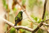 Black-thighed Puffleg  Sitting On Branch, Hummingbird From Mountains, Colombia, Nevado Del Ruiz,bird poster