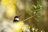Collared Inca Sitting On Branch, Hummingbird From Mountains, Colombia, Nevade Del Ruiz,bird Perching poster