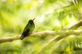 Glowing Puffleg Sitting On Branch In Rain, Hummingbird From Tropical Rain Forest,colombia,bird Perch poster