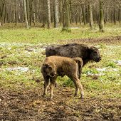 Aurochs, Young Animals In The Forest. The European Bison (bison Bonasus), Also Known As Wisent Or Th poster