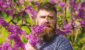 Perfumery And Fragrance Concept. Bearded Man With Fresh Haircut Sniffs Bloom Of Judas Tree. Man With poster