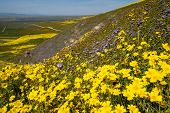 Abundent Purple And Yellow Wildflowers Grow During The Super Bloom In California At Carrizo Plain Na poster