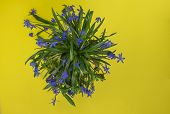 Blue Flowers On A Yellow Background. Flower In The Garden On A Sunny Summer Or Spring Day. Flower Fo poster