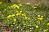 Taraxacum Blooms In Spring #3 poster