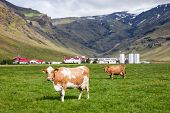 Icelandic rural scene with free range grazing red and white Holstein Friesian breed dairy cattle in  poster