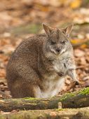 stock photo of tammar wallaby  - Eating parma wallaby in a dutch zoo - JPG