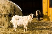 image of feedlot  - goats on a farm with a straw bale - JPG