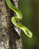 stock photo of tree snake  - Close up of a rough green snake in a tree - JPG
