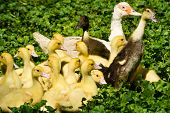 pic of canard  - Muscovy duck with ducklings on a meadow
