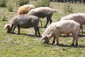 pic of wallow  - Pigs - JPG