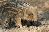 image of razorback  - Baby wild boars playing in the mud - JPG