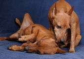 image of miniature pinscher  - One red Miniature Pinscher licks ear of another - JPG