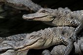 foto of gator  - Baby American Alligators  - JPG