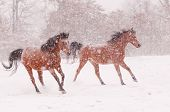 image of arabian horse  - Two Arabian horses running in a blizzard - JPG
