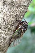 stock photo of exoskeleton  - cicada holding on a tree - JPG