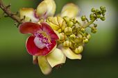 foto of cannonball-flower  - Sal Tree Sal of India Couroupita guianensis Aubl - JPG