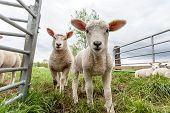 image of spring lambs  - Two baby lamb stay in the meadow - JPG