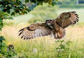 stock photo of eagles  - A large Eagle Owl prepares to land on a fence - JPG