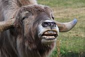 pic of yaks  - A yak streching out and making noises - JPG