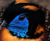 picture of pheasant  - Closeup of the head of a tragopan pheasant - JPG