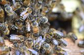 picture of swarm  - A swarm  of bees at the entrance of beehive in apiary in the summertime - JPG