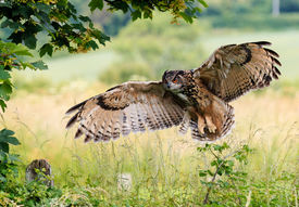 image of owl eyes  - A large Eagle Owl prepares to land on a fence - JPG