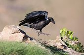 pic of raven  - White necked raven gliding is a strong wind on top of a maointain - JPG