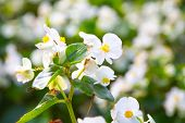 stock photo of begonias  - Beautiful white Begonia flower with blur  - JPG