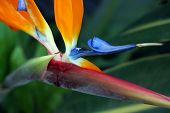 stock photo of bird paradise  - Close up of a bird of paradise flower - JPG