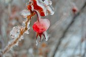 stock photo of freezing  - A Photograph of ice dripping off of a berry hanging on a tree after a freezing rain storm - JPG