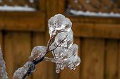 image of freezing  - Twigs of tree encased in ice after a freezing rain storm - JPG