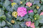 image of hydrangea  - Pink hydrangea - JPG