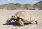 stock photo of exoskeleton  - Large tortoise reptile walking on sandy ground through an arid desert landscape - JPG