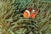 picture of biodiversity  - Anemonefish  - JPG